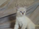 布偶猫出售,现猫,无需排队