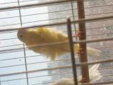 长期出售自家产玉鸟 接受开春头窝预定