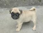 杭州出售纯种巴哥幼犬八哥憨厚巴哥犬哈巴狗可爱巴哥幼犬宠物狗狗