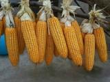 耐密植耐高温玉米新品种金农9号