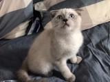 华南自家繁育小猫便宜找新家