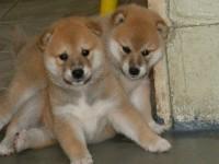 繁殖 纯种日系柴犬宠物狗狗 疫苗齐包品质健康