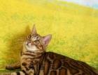 赛级玫瑰纹孟加拉豹猫母金豹幼猫