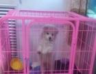 出售银狐犬(公)一只带狗笼