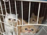 转让加菲猫两只红虎斑加白