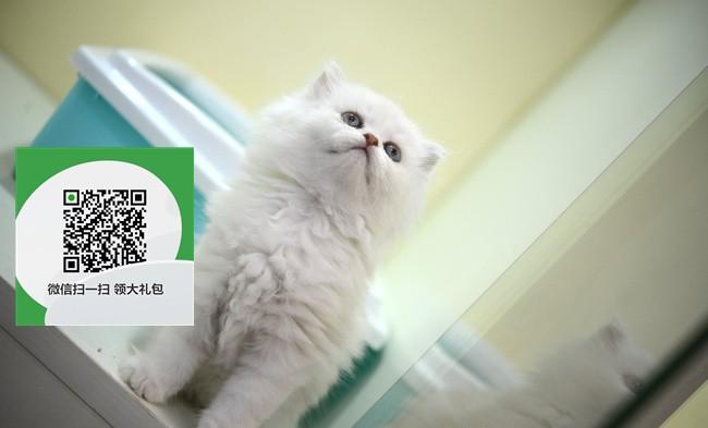 镇江哪里有金吉拉出售 镇江金吉拉价格 镇江宠物猫转让出售