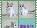 高端布偶猫繁殖中心 多只布偶宝宝待售 包健康aa9