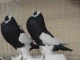 钱伟覌赏鸽养殖基