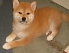 自家大狗生的一窝柴犬可以来家里看大狗品相