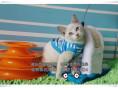 暹罗幼猫出售身体健康纯种活泼欢迎随时上门挑选