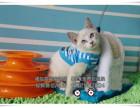 暹罗猫多窝出售中自家繁殖的健康可爱可上门