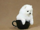 繁殖基地出售精品 俊介博美幼犬 批发零售均可包健康
