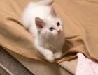 白色长毛 鸳鸯眼 狮子猫