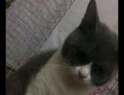 自家养殖的蓝白猫