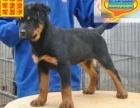 哪里有罗威纳犬出售 罗威纳犬多少钱一只 在哪里