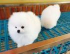 青岛哪里有纯种健康的哈多利球体博美 茶杯博美幼犬 博美价格