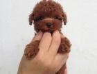 上门看狗 价格可便宜 出售纯种泰迪熊 终身保障 完美售后