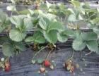 小汤【四季果园】奶油草莓采摘