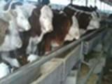 湖北黄冈销售600头肉牛 肉牛犊