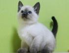 暹罗猫宠物幼猫 猫活体 家养纯种暹罗猫重点猫咪