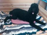 巨型贵宾犬预产期7月1号