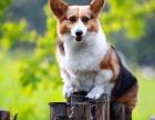 柯基犬纯种家养繁殖柯基狗出售精品家养活体宠物狗