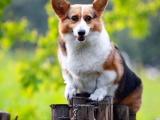 柯基犬純種家養繁殖柯基狗出售精品家養活體寵物狗