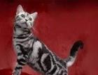 家养美短英短布偶等十多种猫咪