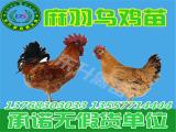 贵州鸡苗批发-买鸡苗当然是到东升禽苗孵化公司