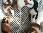 荷兰猪兔子仓鼠刺猬松鼠,15至179元一个