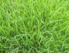蚌埠草坪苗木销售草坪信息河南金龙草坪苗木基地