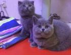 隆重推荐——超萌可爱精品英短短毛蓝猫