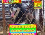 买纯种阿拉斯加犬健康质保支持视频看狗送货上门