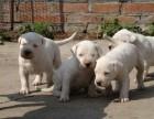浙江杜高犬哪里出售有买的,双血统精品杜高犬,出售