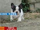 犬舍专业出售方脸大鼻筋纯种法牛欢迎上门挑选