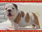 英国斗牛犬英斗幼犬北京可送货上门签正规协议