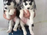 苏州哪里买哈士奇 苏州什么地方卖狗 狗场在哪里