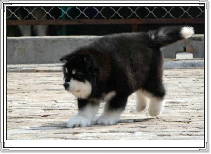 纯种熊版阿拉斯加 帅气拉风 可视频