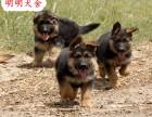 什么地方个出售德牧犬 纯种德牧犬幼犬健康活体包邮