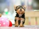 佛山纯种约克夏犬价格多少钱一只 佛山在哪里有卖纯种约克夏犬