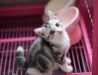 绍兴哪里有美短猫虎斑加白卖 纯血统 萌翻你的眼球 品质保障