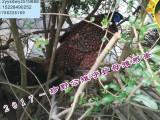 绵竹市兴隆镇珍野野生动物养殖场观赏鸟出售