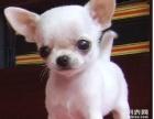 家养纯种大眼睛漂亮可爱吉娃娃幼犬出售【上门优惠】