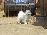 赛级萨摩耶犬保纯种-保健康迷人眼球微笑萨摩耶