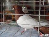 两头红鸽子 种鸽