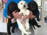 拉布拉多幼犬出售 多只可选 纯种健康已打疫苗
