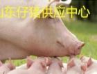 山东仔猪价格山东小猪批发加盟 种植养殖