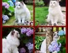 CFA?猫舍 出售纯种布偶猫双色海豹色甜美可爱M