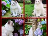 布偶猫海豹海双蓝双布偶纯种宠物猫咪包健康包送CFA