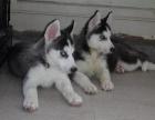 帅气拉风双蓝眼三把火哈士奇幼犬 品相完美包健康品质